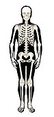 Front view of skeleton on generic silhouetted figure.