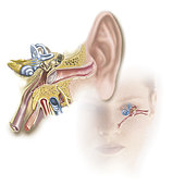 Position of inner ear in relationship to head and face.