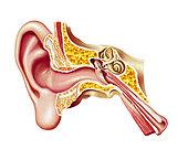 Cutaway diagram of human ear.