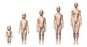 Female human body scheme of different age stages, showing five different ages with relative body shapes.