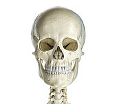 Human skull viewed from the front, on white background.