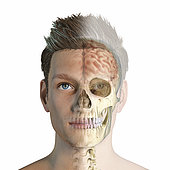 Ghost effect of male head with skull and brain. Front view, half face and half skull/brain on white background.