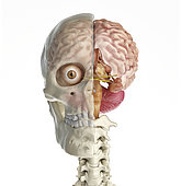 Human skull mid sagittal cross-section with brain. Front view on white background.