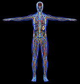 X-ray effect of male cardiovascular, nervous, lymphatic and skeletal systems. On black background.