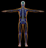 X-ray effect of male nervous system. Full figure on black background.
