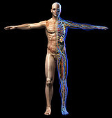 Male skeletal, internal organs diagram and x-ray anatomy systems. Full figure standing on black background. Front view.
