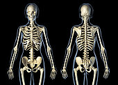 Female skeletal system front and rear views, on black background.