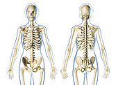 Female skeletal system front and rear views, on white background.
