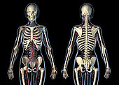 Female anatomy of cardiovascular system with skeleton, rear and front views. On black background.