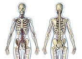 Female anatomy of cardiovascular system with skeleton, rear and front views. On white background.