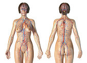 Female anatomy of cardiovascular system, rear and front views. On white background.