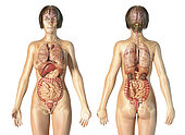 Female anatomy of internal organs with skeleton, rear and front views. On white background.
