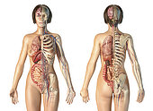 Female anatomy of cardiovascular system with skeleton and internal organs, rear and front views.