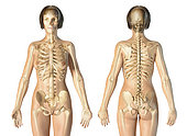 Female skeletal system, front and rear views, on white background.