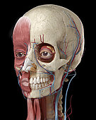Human anatomy of head with skull, eye bulbs, blood vessels and muscles. 3D illustration on black background.