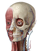 Human anatomy of head with skull, eye bulbs, blood vessels and muscles. 3D illustration on white background.
