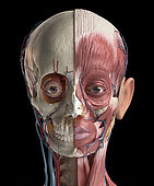 Human head anatomy of skull, facial muscles, veins and arteries. 3D illustration on black background.