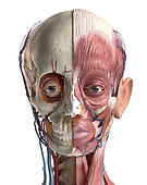 Human head anatomy of skull, facial muscles, veins and arteries. 3D illustration on white background.