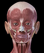 3D illustration of human facial muscles, frontal view on black background.