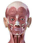 3D illustration of human facial muscles, frontal view on white background.