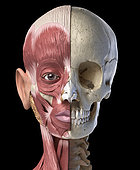 Split view anatomy of the human facial muscles and skull. Anterior view on black background.