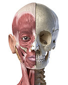 Split view anatomy of the human facial muscles and skull. Anterior view on white background.