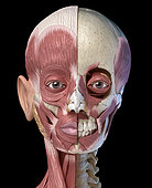 Split view anatomy of the human facial muscles with partial view of skull. Anterior view on black background.