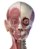 Split view anatomy of the human facial muscles with partial view of skull. Anterior view on white background.