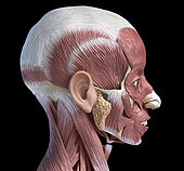 3D illustration of human facial muscles, lateral view, black background.
