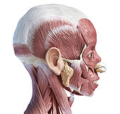 3D illustration of human facial muscles, lateral view, white background.