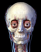 3D illustration of the vascular system in the human head, black background.