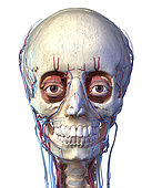 3D illustration of the vascular system in the human head, white background.
