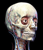 3D perspective of the vascular system in the human head, black background.
