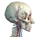 Vascular system of the human head, side view on white background.