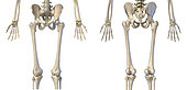 3D illustration of hip, limbs and hands of skeletal system. Front and back views on white background.