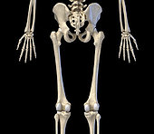 3D illustration of hip, limbs and hands of skeletal system. Rear view on black background.