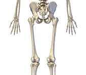 3D illustration of hip, limbs and hands of skeletal system. Rear view on white background.