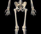 3D illustration of hip, limbs and hands of skeletal system. Front view on black background.