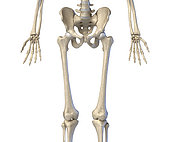3D illustration of hip, limbs and hands of skeletal system. Front view on white background.