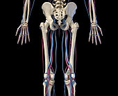 3D illustration of hip, legs and hands of skeletal system with arteries and veins. Rear view on black background.