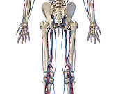 3D illustration of hip, legs and hands of skeletal system with arteries and veins. Rear view on white background.