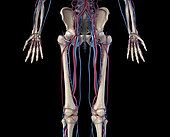 3D illustration of hip, legs and hands of skeletal system with arteries and veins. Front view on black background.