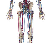 3D illustration of hip, legs and hands of skeletal system with arteries and veins. Front view on white background.