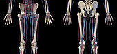 3D illustration of hip, legs and hands of skeletal system with arteries and veins. Rear and front view on black background.