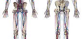3D illustration of hip, legs and hands of skeletal system with arteries and veins. Rear and front view on white background.