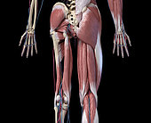 3D illustration of human limbs, hip and muscular system with arteries and veins. Rear view on black background.