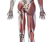 3D illustration of human limbs, hip and muscular system with arteries and veins. Rear view on white background.