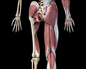 3D illustration of human limbs, hip and internal muscle layers. Rear view on black background.