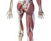 3D illustration of human limbs, hip and internal muscle layers. Rear view on white background.