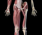 3D illustration of human limbs, hip and internal muscle layers. Front view on black background.